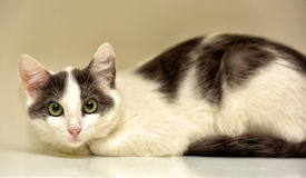 Europeo bianco e grigio del gatto Immagine Stock