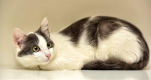 Europeo bianco e grigio del gatto Fotografie Stock