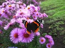 Europeo de la mariposa Foto de archivo libre de regalías