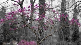 Europeo del Cercis, albero di Giuda Fotografia Stock Libera da Diritti
