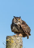 Europeo Eagle Owl On Log Foto de archivo