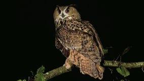 Europeo Eagle Owl, otus del asio, adulto che sta sul ramo, Normandia in Francia, stock footage