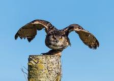 Europeo Eagle Owl Taking Off Fotografía de archivo