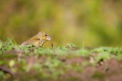 Europeo Greenfinch Imagen de archivo