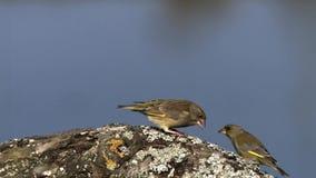 Europeo Greenfinch, chloris del carduelis, adulto en la postura defensiva, expulsando las semillas de su pico, Normandía almacen de metraje de vídeo