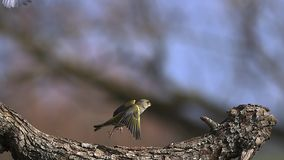 Europeo Greenfinch, chloris del carduelis, adulto que saca de rama con la comida en su pico metrajes
