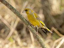 Europeo Greenfinch (clori dei clori) Fotografia Stock