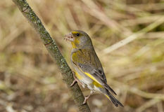 Europeo Greenfinch (clori dei clori) Fotografie Stock
