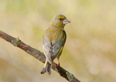 Europeo Greenfinch (clori dei clori) fotografia stock libera da diritti