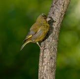 Europeo Greenfinch (clori dei clori) immagini stock libere da diritti