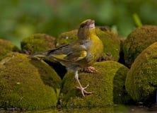 Europeo Greenfinch (clori dei clori) immagini stock