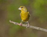 Europeo Greenfinch (clori dei clori) Immagine Stock