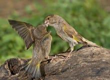 Europeo Greenfinch (clori dei clori) fotografie stock