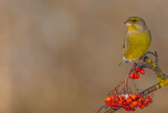 Europeo Greenfinch - clori del carduelis Immagini Stock
