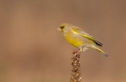 Europeo Greenfinch - clori del carduelis Immagini Stock