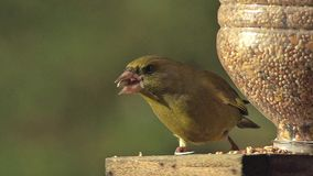 Europeo Greenfinch, clori del carduelis, adulto che mangia alimento alla depressione, in volo Normandia video d archivio