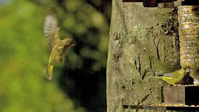 Europeo Greenfinch, clori del carduelis, adulto che mangia alimento alla depressione, in volo Normandia, archivi video