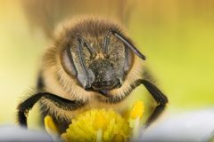 Europeo Honey Bee, Honey Bee, abeja, abeja Fotografía de archivo libre de regalías