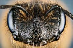 Europeo Honey Bee, Honey Bee, abeja, abeja Imagen de archivo libre de regalías