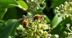 Europeo Honey Bee, mellifera de los apis, adultos que recolectan el polen en la flor del ` s de la hiedra, hélice de hedera, Norm almacen de video