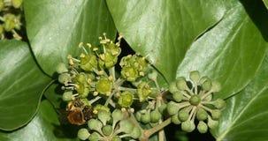 Europeo Honey Bee, mellifera de los apis, adultos que recolectan el polen en la flor del ` s de la hiedra, hélice de hedera, Norm almacen de metraje de vídeo