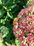Europeo hoverfly Eristalis tenax en una cabeza de flor del sedum en un día soleado Fotos de archivo libres de regalías