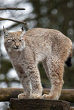 Europeo Lynx Immagini Stock Libere da Diritti