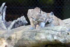 Europeo Lynx con il cucciolo Fotografia Stock Libera da Diritti