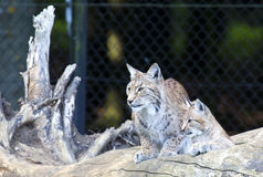 Europeo Lynx con il cucciolo Fotografie Stock Libere da Diritti
