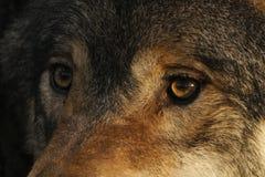 Europeo, retratos del lobo de madera imagen de archivo