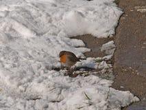 Europeo Robin fotografia stock libera da diritti
