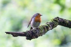 Europeo Robin Erithacus Rubecula appollaiato sul ramo Fotografie Stock Libere da Diritti