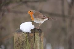 Europeo Robin, rubecola del Erithacus Fotografie Stock