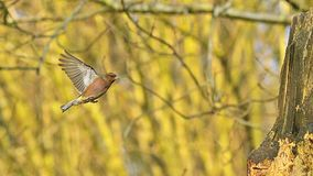 Europeo Robin, rubecula del erithacus, maschio in volo, la Normandia, stock footage