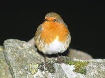 Europeo Robin, rubecula del Erithacus, sedentesi sulla parete di pietra fotografia stock libera da diritti
