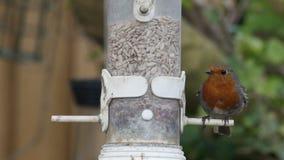 Europeo Robin (rubecula del Erithacus) sull'alimentatore video d archivio
