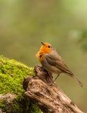 Europeo Robin sul ceppo con muschio immagini stock libere da diritti