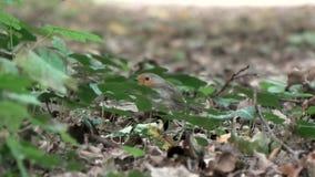 Europeo Robin sulla terra video d archivio