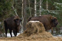 Europeo salvaje Bison Graze Near un pajar al borde de un invierno Forest Two Bison Aurochs Standing cerca de la plataforma de ali Foto de archivo
