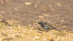 Europeo Starling Imagen de archivo libre de regalías