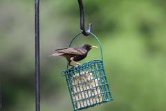 europeon starling стоковое изображение rf