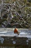 Europäer Robin auf Steinwand Lizenzfreie Stockfotos