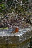 Europäer Robin auf Steinwand Stockbild