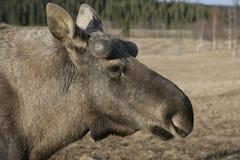 Europese Amerikaanse elanden, machlis van Alces alces Royalty-vrije Stock Fotografie