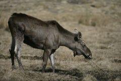 Europese Amerikaanse elanden, machlis van Alces alces Royalty-vrije Stock Foto's