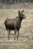 Europese Amerikaanse elanden, machlis van Alces alces Stock Afbeelding