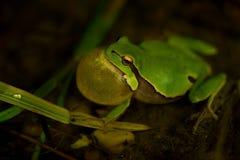 Europese arborea van Treefrog - Hyla- Royalty-vrije Stock Foto's