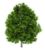 Europese asboom die op wit wordt geïsoleerd Stock Foto's