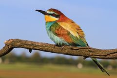 Europese bij-eter - gekleurde vogel Royalty-vrije Stock Fotografie