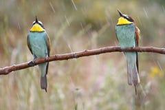 Europese bij-eter, Merops apiaster, mooie gekleurde vogel royalty-vrije stock afbeeldingen